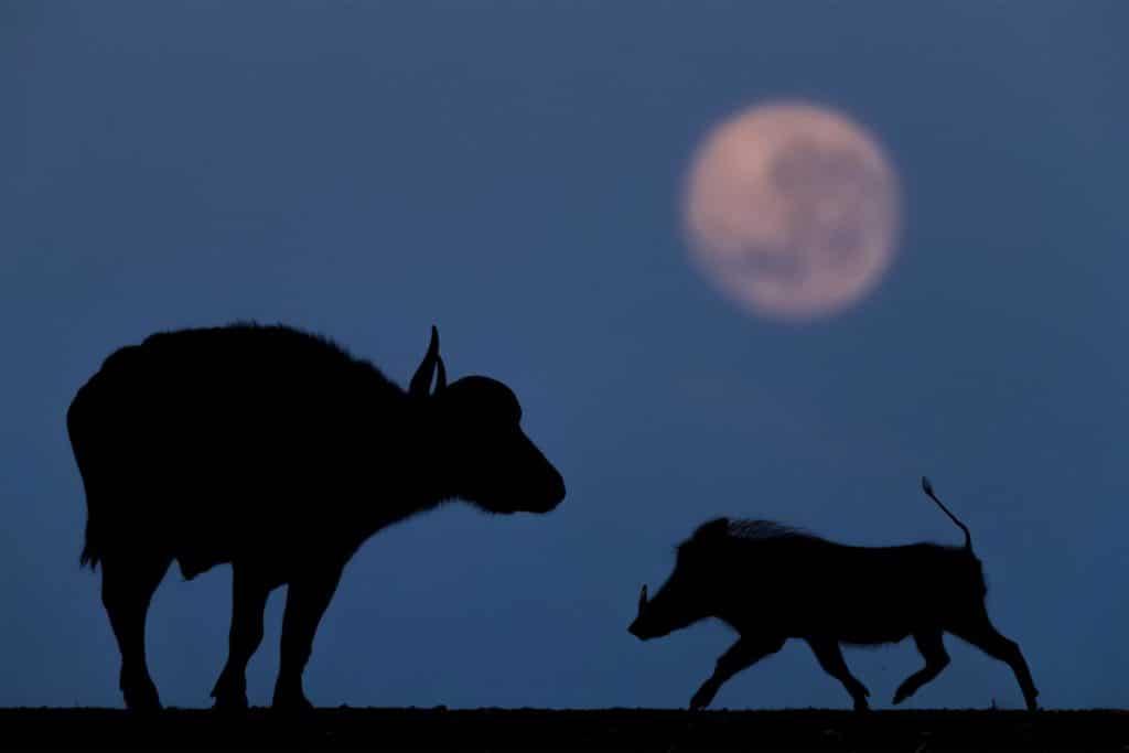 Svet divočiny nám občas môže ponúknuť vzácne okamihy Fotograf Bence Máté z National Geographic si to uvedomil po uplynutí troch nocí počas ktorých sa snažil zachytiť obraz slona v Južnej Afrike že cicavce rozbili jeho fotoaparát na omrvinky