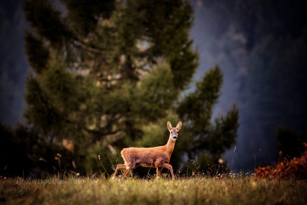 srnka v zalubici hladiaca na objektiv fotografa v lese