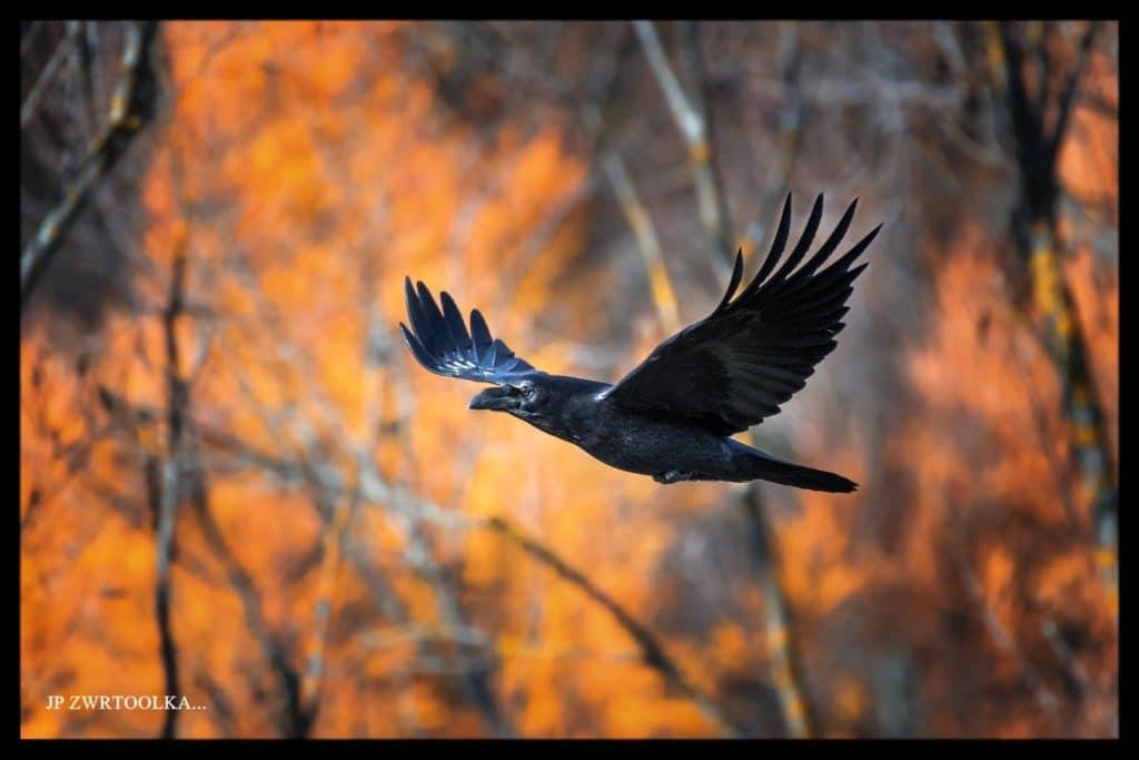 krkavec Ruskinovce na jesen v plamenoch