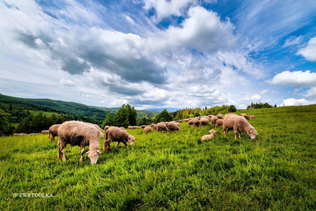 ovce na spisskej magure