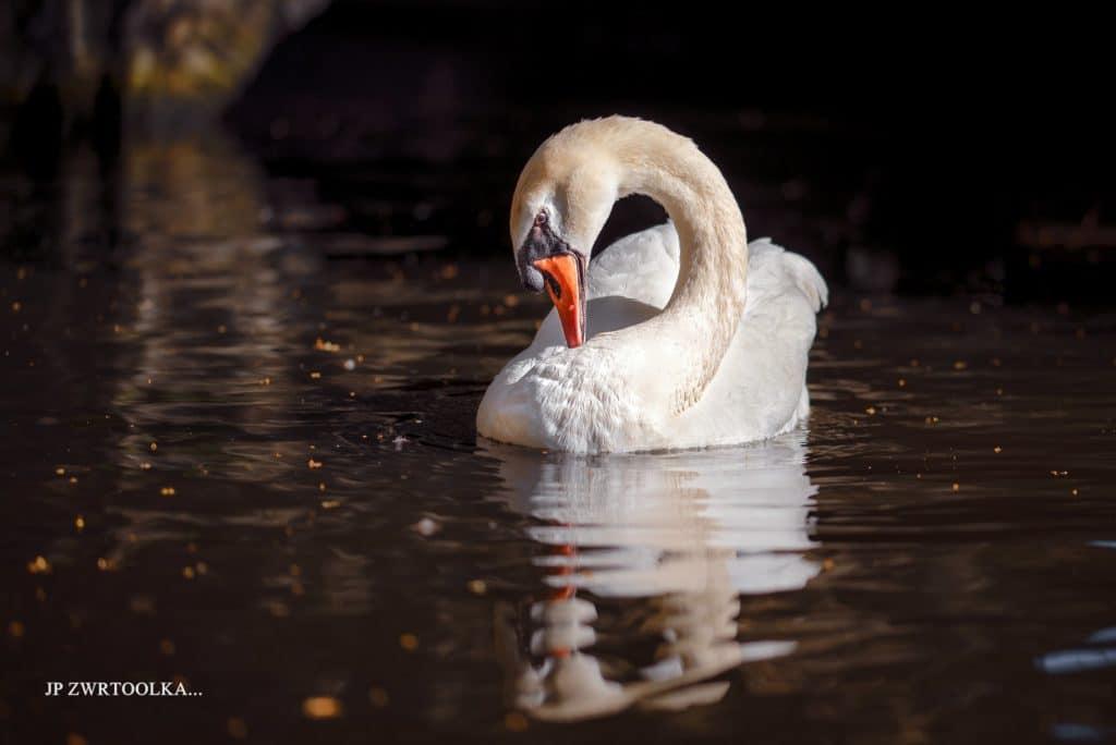 Labut fotena v Belgicku Bruggy v kanaly ktory vznikol okolo roku 1100