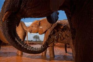 Osirotené slony sa kúpu v blate v národnom parku Tsavo East v Keni roku 2010. (Foto Michael Nichols / National Geographic)