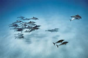 Delfín dlhonosý, Oahu, Hawaii, 2013. (Foto: Brian Skerry/National Geographic)