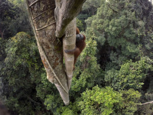 Orangutan, národný park Gunung Palung, Borneo, Indonézia, 2015. (Foto: Tim Laman/National Geographic)