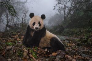 Panda, prírodná rezervácia Wolong , provincia Sichuan , Čína, 2015. (Foto: Ami Vitale/National Geographic)