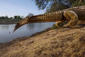 Krokodíl na ostrove Salamat.(Foto: Michael Nichols/National Geographic)