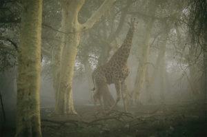 Žirafa sa prechádza v hmle uprostred lesa v rezervácii Ndumu. (Foto: Chris Johns/National Geographic)